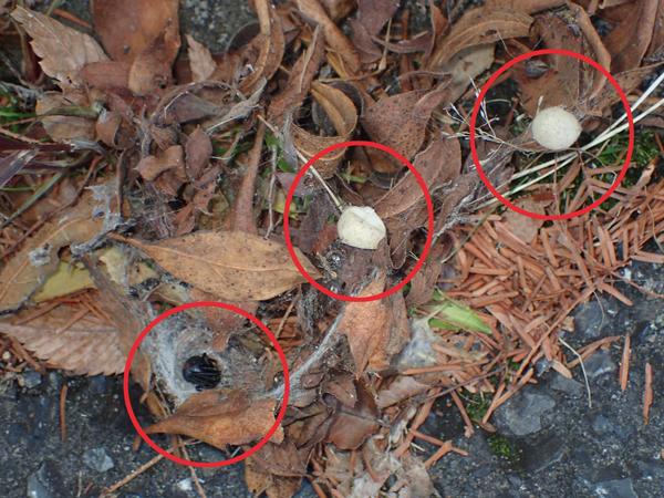 セアカゴケグモ成体と卵のう