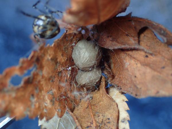 オオヒメグモ卵のうと親