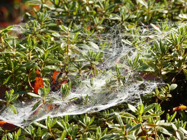 コクサグモの網