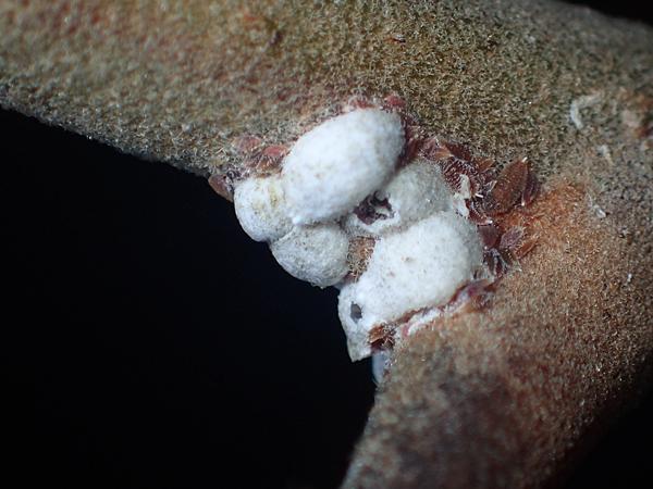 サルスベリフクロカイガラムシとアミメアリ