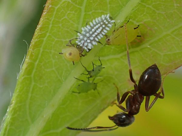 コクロヒメテントウの幼虫とトビイロケアリ