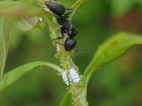 コクロヒメテントウの幼虫とクロオオアリ