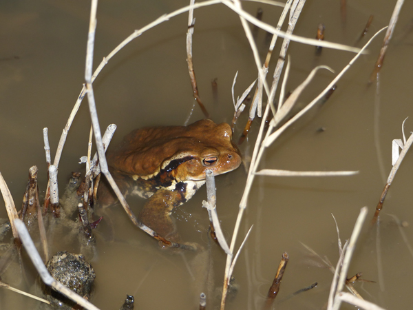 アズマヒキガエルの蛙合戦