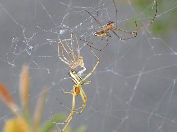 チュウガタシロカネグモ 壊れた網