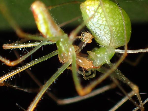 ウロコアシナガグモの交接