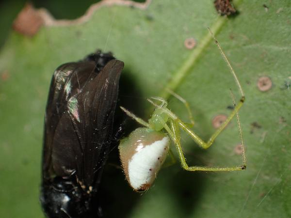 ホシミドリヒメグモ白色型