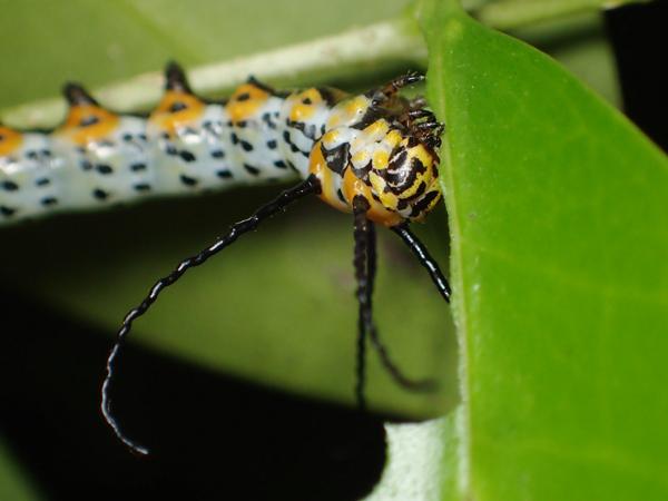 イボタガの幼虫