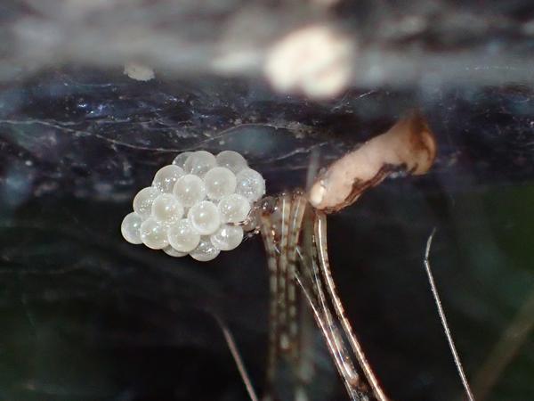 卵を抱えるユウレイグモ