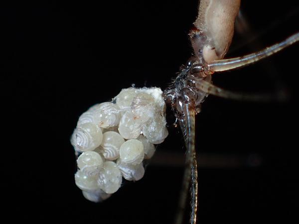 孵化直前のユウレイグモ