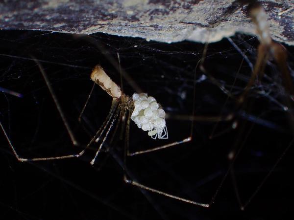 孵化したばかりのユウレイグモ