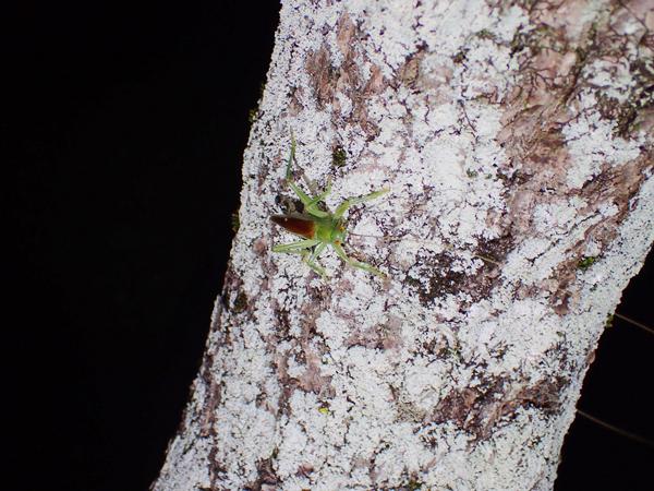 梅の木のコロギス