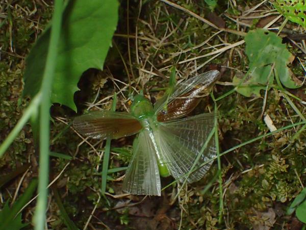 翅を広げながら逃げるコロギス