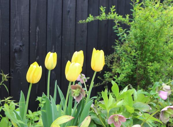 チューリップ咲きました