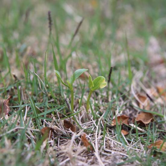 芝生から芽だでました