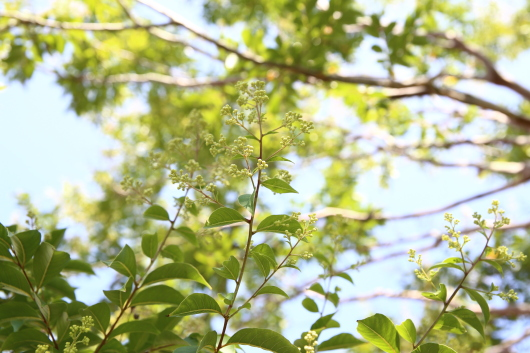 シマサルスベリ開花