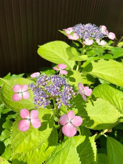 お店の紫陽花