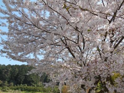 桜の木 石鎚神社