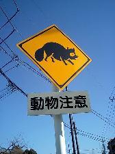 タヌキ注意!!