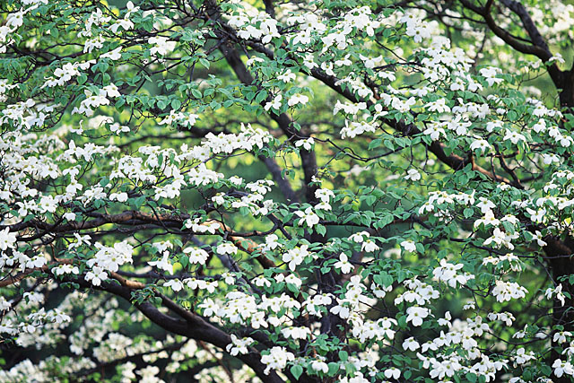 白い花咲く木.jpg