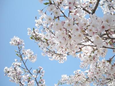 4.10桜