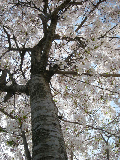 見上る桜4.10