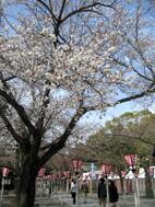 三島大社の三島桜
