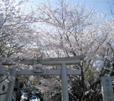 谷田・三熊野神社の桜