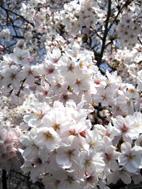 袖師の桜満開