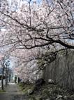 袖師の桜の名所