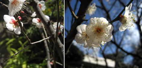 庭の梅 早くも見ごろ 2009年1月28日