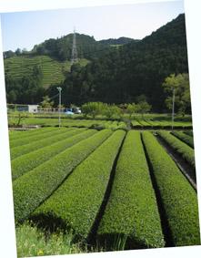 4月 足久保に広がるお茶畑