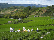 清水 まちこ畑の茶摘み(09年)