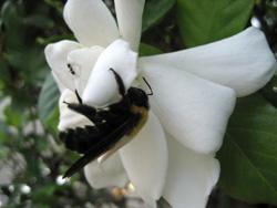 くちなしの花に集まる虫たち