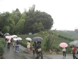 岡部玉露の茶園散策