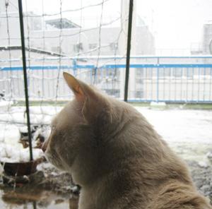 ベランダの雪を眺めるネコ