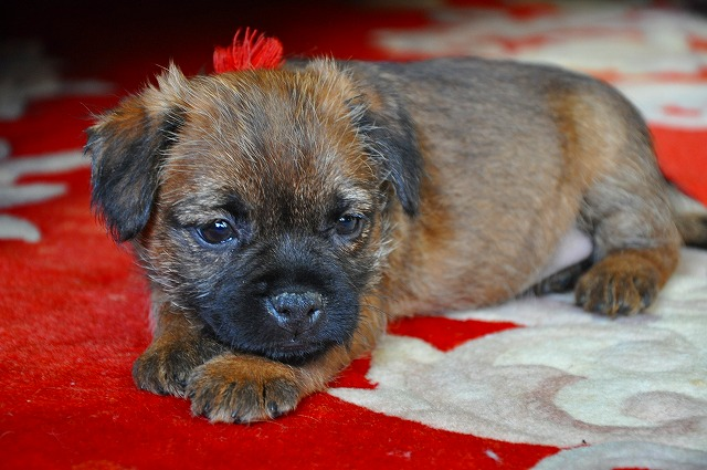 Image result for border terrier 犬  ボールで遊ぶ