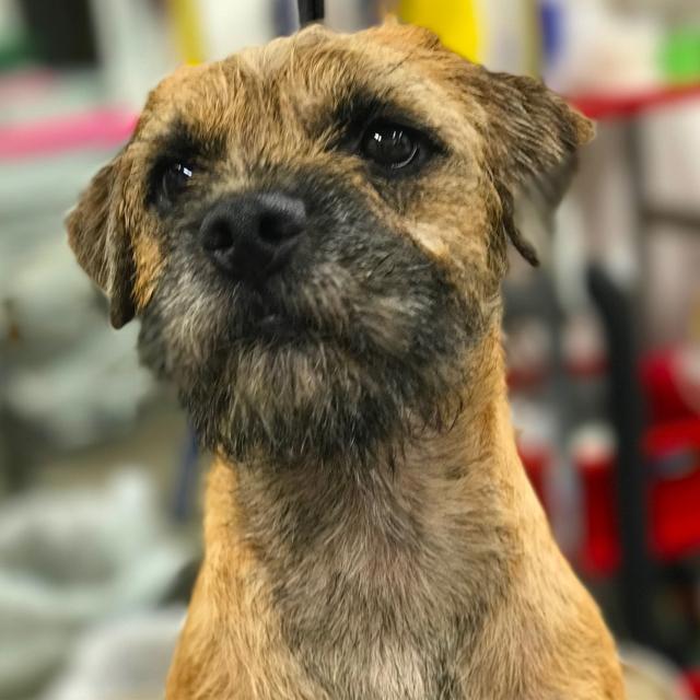 Image result for border terrier 犬  怒っている