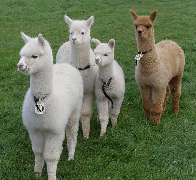 inquisitive-alpacas.jpg
