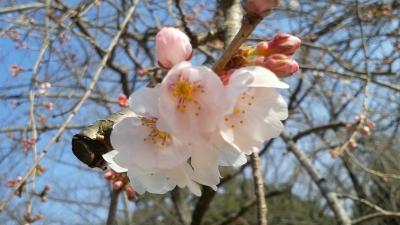 桜2014.3.16