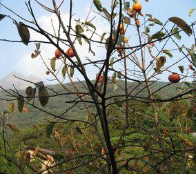 窓からは柿の木が…