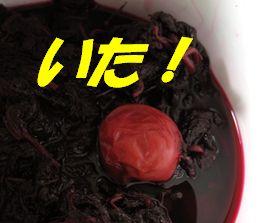赤紫蘇の中からこんにちは〜♪
