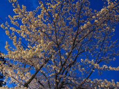 夜桜もいいですね