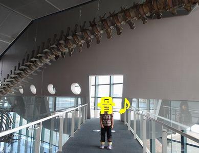 シロナガスクジラの骨格