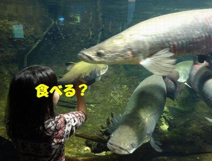 アマゾンの魚たち