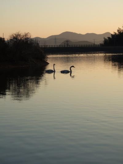 中池の白鳥