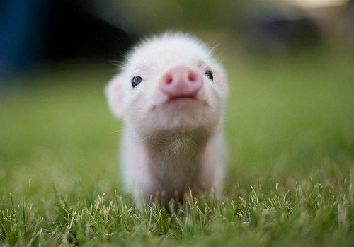 赤ちゃん豚正面