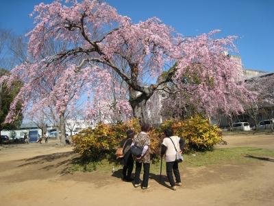 中央公園しだれ桜