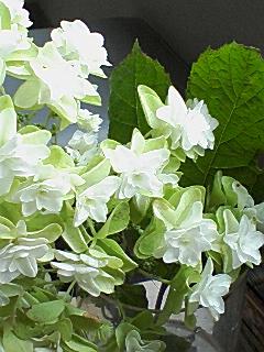 柏葉八重紫陽花3.jpg