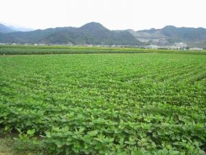 大豆畑21.9.06