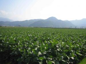 10月の大豆畑